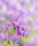 Lilac crocuses on blurred background Stock Images