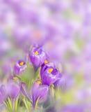 Lilac Crocuses On Blurred Background