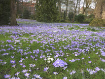Lilac crocuses in a spring park, Leuven, Belgium 2 Stock Images