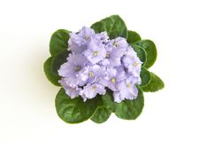 Lilac curly saintpaulia african violet flower from above. Symbol of unaffectedness and faithfulness. Isolated on white background Stock Photo