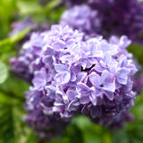 Lilac da mola Fotos de Stock Royalty Free