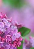 Lilac da mola Imagens de Stock Royalty Free