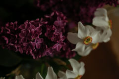 Lilac and daffodils Royalty Free Stock Photo
