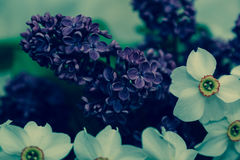 Lilac and daffodils Royalty Free Stock Images