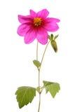 Lilac Dahlia Royalty-vrije Stock Foto's