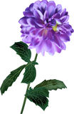 Lilac dahlia isolated on white background Royalty Free Stock Image