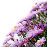 Lilac daisy Royalty Free Stock Photos