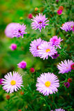 Lilac daisy Stock Images