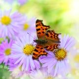 Lilac daisy Royalty Free Stock Image