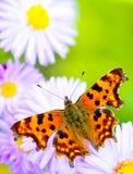 Lilac daisy Stock Photo