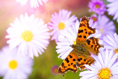Lilac daisy stock photos