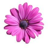 Lilac daisy Stock Image