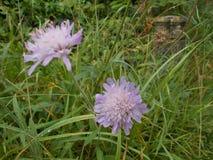 Lilac Dandelion Flower Stock Images