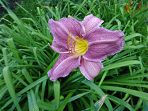 Lilac daylilies in the garden Stock Photo