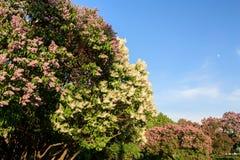 Lilac de florescência Imagem de Stock Royalty Free