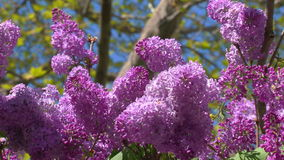 Lilac de florescência da mola filme