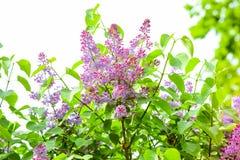 Lilac de floresc?ncia Cores saturadas brilhantes possa Mola imagem de stock royalty free
