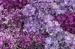 Lilac de floresc?ncia Fundo das flores do lil?s Variedades diferentes lilás e cores imagens de stock royalty free