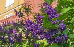 Lilac de floresc?ncia Um ramo de lilás de florescência no jardim da cidade fotografia de stock