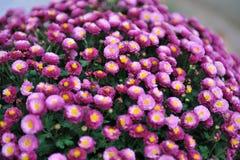 Lilac de herfstbloemen Stock Foto's