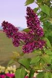 Lilac de lenteavond. Stock Afbeeldingen