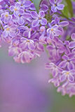 Lilac in detail Stock Photos
