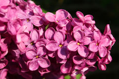 Lilac Detail van de Bloem stock fotografie