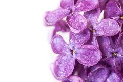 Lilac Royalty Free Stock Image