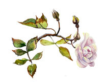 Lilac dogrose branch watercolor. Lilac dogrose twig original watercolor botany illustration  on fhite background pink rose with stem and leaves Stock Photo