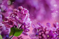 Lilac dream. Lilac elder flower dream with heart bokeh Stock Images