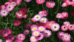 Lilac e flor cor-de-rosa na flor foto de stock royalty free
