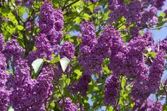 Lilac or elder bush Stock Photos
