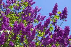 Lilac or elder bush royalty free stock photo