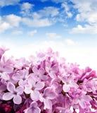 Lilac en blauwe hemel Stock Afbeeldingen