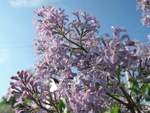 Lilac en blauwe hemel stock fotografie