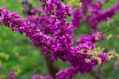Lilac en groene bladeren Royalty-vrije Stock Fotografie