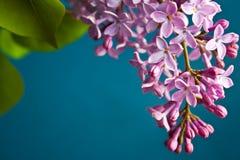 Lilac encantador Imagens de Stock Royalty Free
