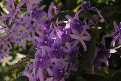 Lilac exotische bloemen Azië Stock Afbeeldingen