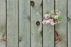 Lilac through a fence. Lilac flowers growing through a weathered wooden fence Stock Image