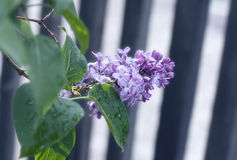 Lilac at the fence stock photography