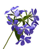 Lilac flower. Which is represented on a white background Stock Images
