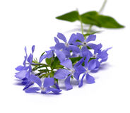 Lilac flower. Which is represented on a white background Royalty Free Stock Images