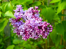 Lilac flower Royalty Free Stock Images