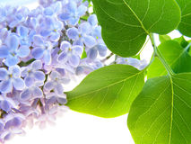 Lilac flower Royalty Free Stock Image