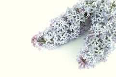 Lilac flower. On white background Royalty Free Stock Photography