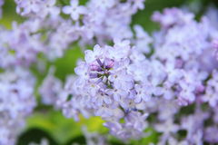 Lilac. Flower. Royalty Free Stock Image