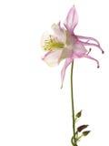 Lilac flower Aquilegia Stock Image