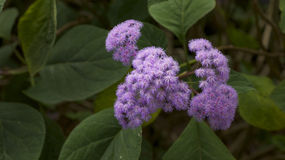 Lilac flower in bloom Royalty Free Stock Photo