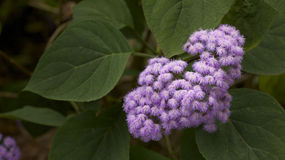 Lilac flower in bloom Stock Photography