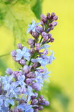 Purple Lilac Flowers Blooming Stock Images